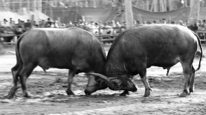 Buffalo fighters by David GABIS.