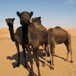 Black Camel, Liwa UAE