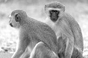 The vervet monkey by David GABIS.