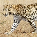 The leopard (Panthera pardus) by David GABIS.