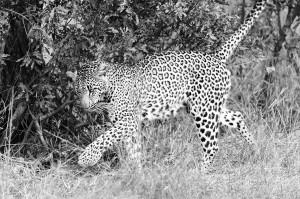 The leopard (Panthera pardus) by David GABIS.