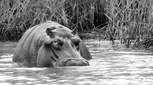 Hippo (Hippopotamus amphibious) by David GABIS.