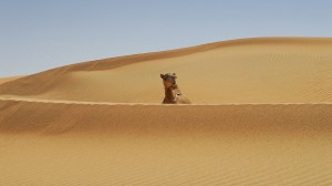 Camel in the desert of Al Ain, United Arab emirates, by David Gabis.