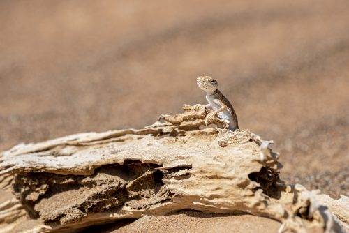 Arabian toad-headed agama in the desert