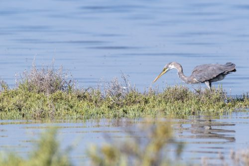 Great Blue Heron hunting, Umm Al Quwain, UAE