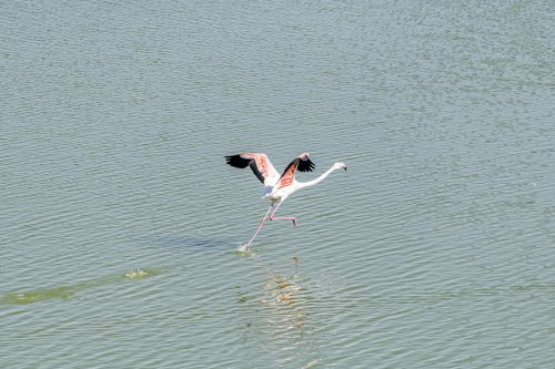 Isolated Flamingo walking on water