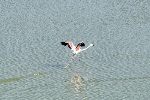 Isolated Flamingo walking on water