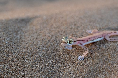 Arabian Short-Fingered Gecko