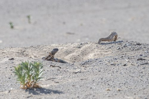 Dabb in the desert