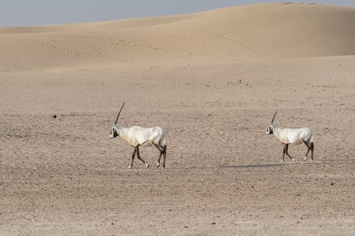 Arabian oryxes walking in the desert of Dubai Emirates,United Arab Emirates (UAE), Middle East, Arabian Peninsula