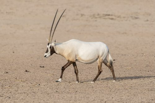 Arabian oryx walking in the desert of Dubai Emirates,United Arab Emirates (UAE), Middle East, Arabian Peninsula