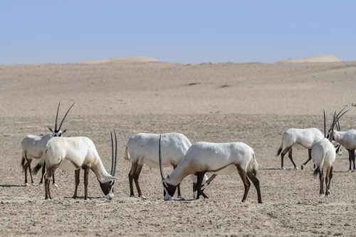 Herd of Arabian Oryxes seen in the Desert of Dubai Emirates, United Arab Emirates, UAE 🇦🇪 , Middle East