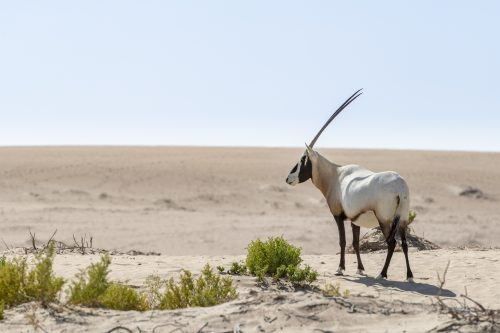 Arabian Oryx, Dubai Emirates, UAE 🇦🇪