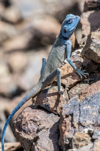 "Male Sinai Agama (Pseudotrapelus sinaitus) [exif id=""526""]"