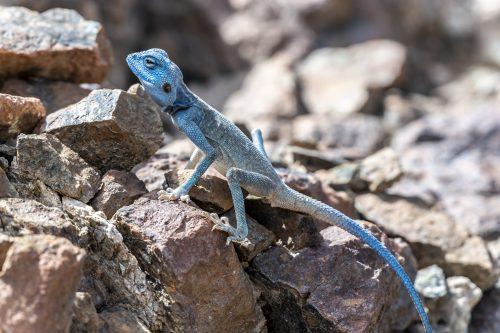 Male Sinai Agama (Pseudotrapelus sinaitus) with his sky-blue coloration