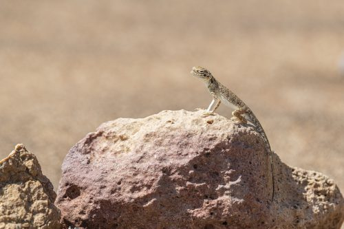 "Arabian toad-headed agama [exif id=""530""]"