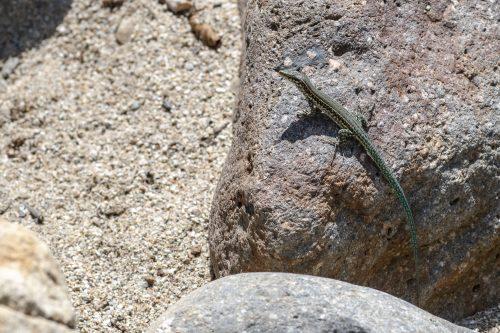 green lizard, Corsica, France