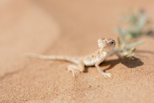 Arabian toad-headed agama (Phrynocephalus arabicus) in the Desert