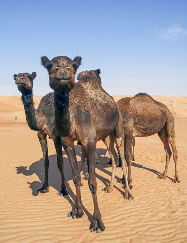 Black camels in the desert of sand looking at the camera. Abu Dhabi Emirates, United Arab Emirates, UAE, Middle East, Arabian Peninsula