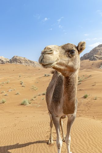 Camel in the desert looking at the camera against desert background
