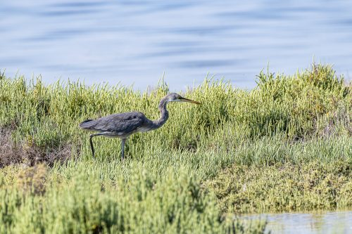 Great Blue Heron in the mangrove of Umm Al Quwain, United Arab Emirates (UAE), Middle East, Arabian Peninsula