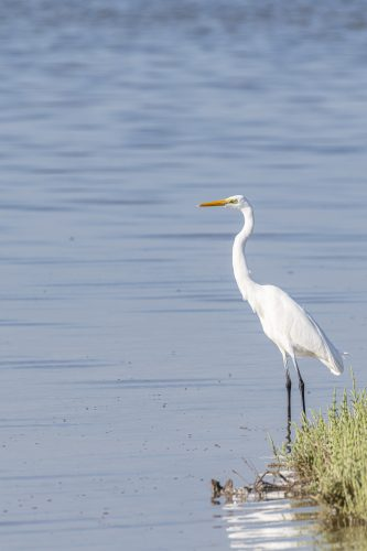 Western Reef Heron in the mangrove of Umm Al Quwain, United Arab Emirates (UAE), Middle East, Arabian Peninsula