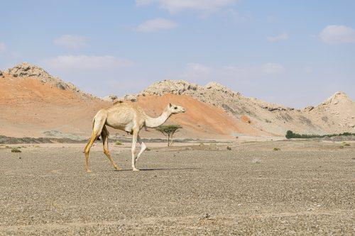 Camel walking in the desert of Sharjah Emirates, United Arab Emirates, UAE, Middle East, Arabian Peninsula