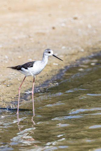 Stilt Bird, Al Qudra Lakes, Dubai, UAE 🇦🇪