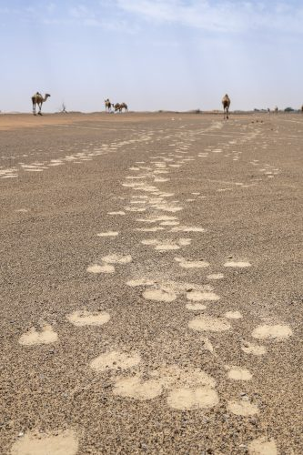 Camels footprints in the desert of red sand of the United Arab Emirates, UAE, Middle East, Arabian Peninsula
