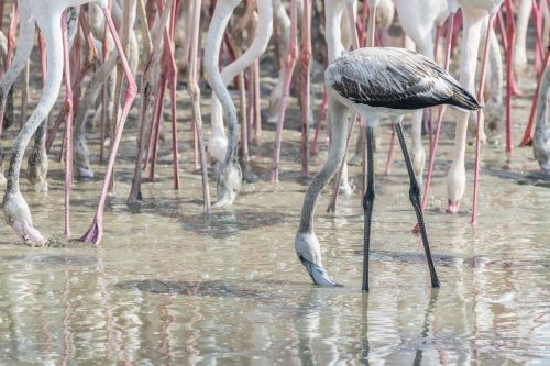 Juvenile Greater Flamingos in a the wetlands of Dubai, United Arab Emirates (UAE), Middle East, Arabian Peninsula