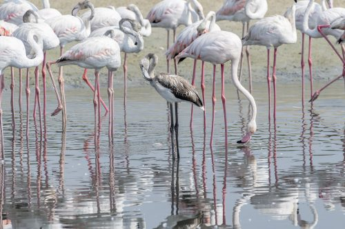 The Greater Flamingoes in a the wetlands of Dubai with a juvenile in grey, United Arab Emirates (UAE), Middle East, Arabian Peninsula