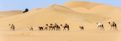 Camel Caravan in the desert of Dubai Emirates. They were going back to their farm. United Arab Emirates, UAE, Middle East, Arabian Peninsula