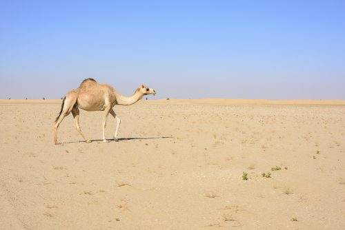 Camel walking in the Desert with blue sky, Dubai Emirates, UAE