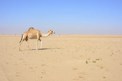 Camel walking in the Desert with blue sky, Dubai Emirates, UAE