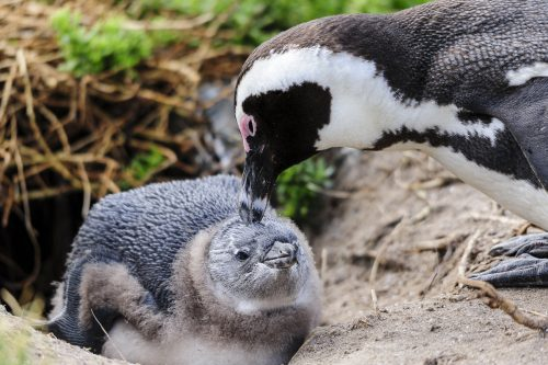 Two Black-footed Penguin (one adult and one juvenile), Cape Town, South Africa.