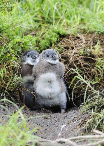 """juvenile African Penguins (Spheniscus demersus), also known as the Black-footed Penguin, confined to southern African waters. It is also widely known as the """"Jackass"""" Penguin for its donkey-like bray. South Africa"""