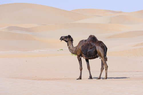 Black camel against pink Desert background, Abu Dhabi, United Arab Emirates, UAE, Middle East, Arabian Peninsula