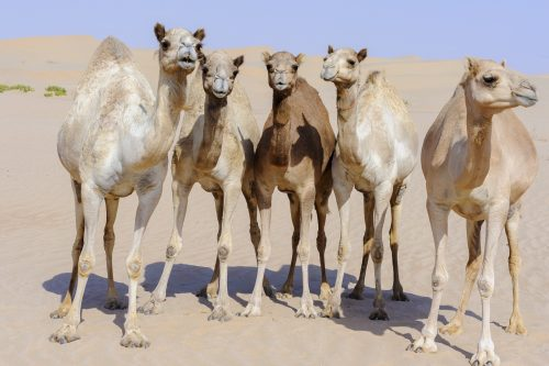 Group of camels looking at the camera in the Desert of Liwa, Abu Dhabi, United Arab Emirates, UAE, Middle East, Arabian Peninsula